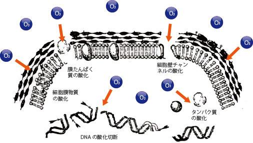 オゾンが細菌を攻撃する様子 画像出典:三協エアテック「オゾンについて」