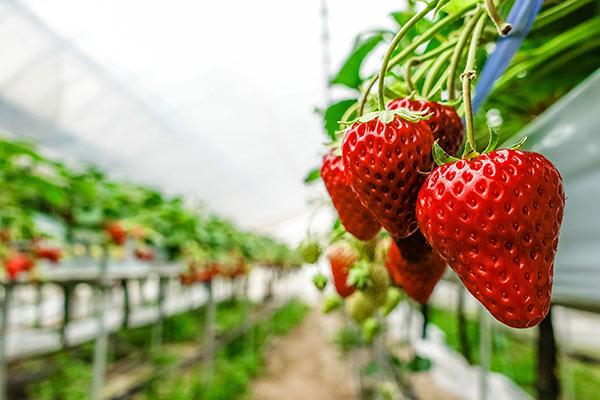 「日本のイチゴは農薬まみれで輸出できない」の実態は?