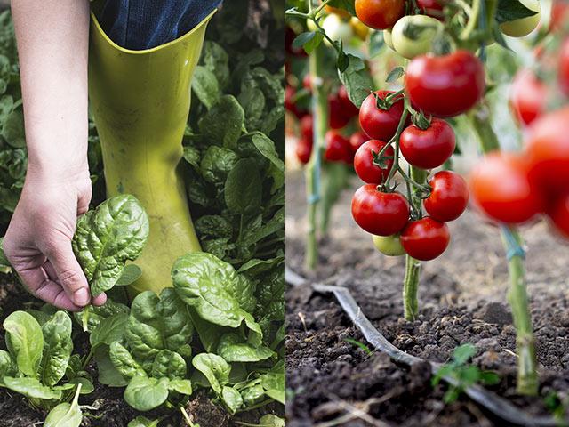 ホウレンソウとトマトはどのように成長したか